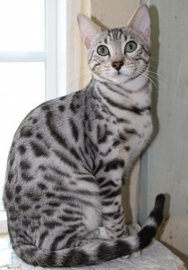 Silver & Brown Spotted Bengal Kittens For Sale - Texas ...