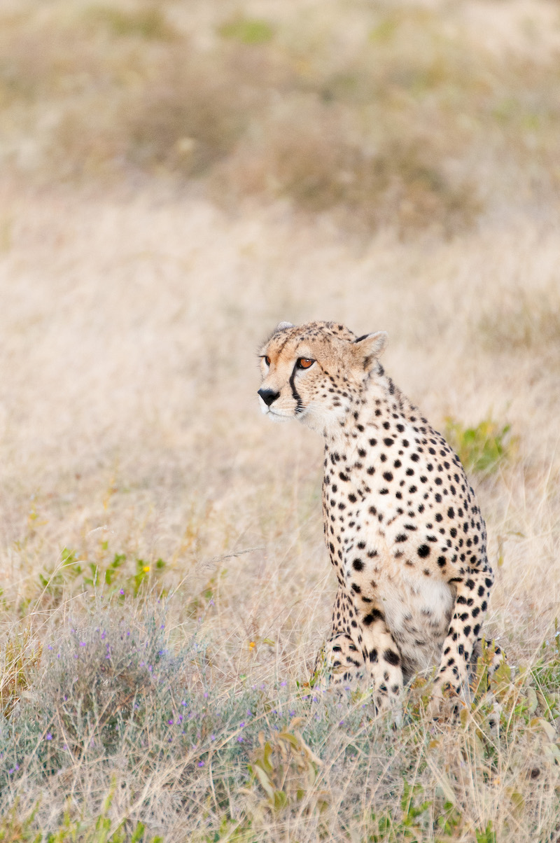 cheeta-9 Glamping in de Serengeti