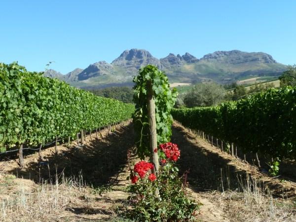 Vineyard in Stellenbosch in South Africa