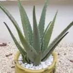 aloe vera ossigeno 150x150 Le piante che danno ossigeno alla nostra casa
