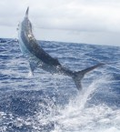 marlin fishing sydney