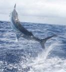marlin fishing sydney