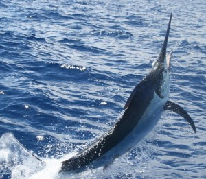 A Striped Marlin doing its thing...
