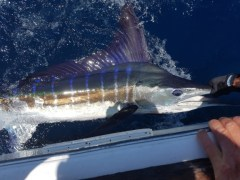 Striped Marlin...