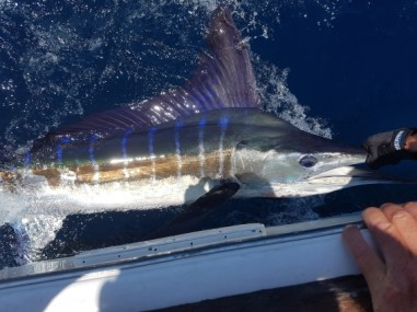 Striped Marlin...