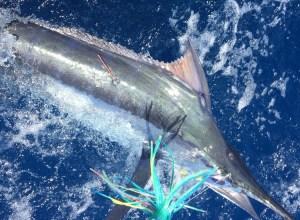 Summertime Marlin...