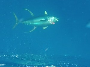 A very good Yellowfin