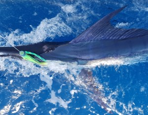 December Stripe Marlin