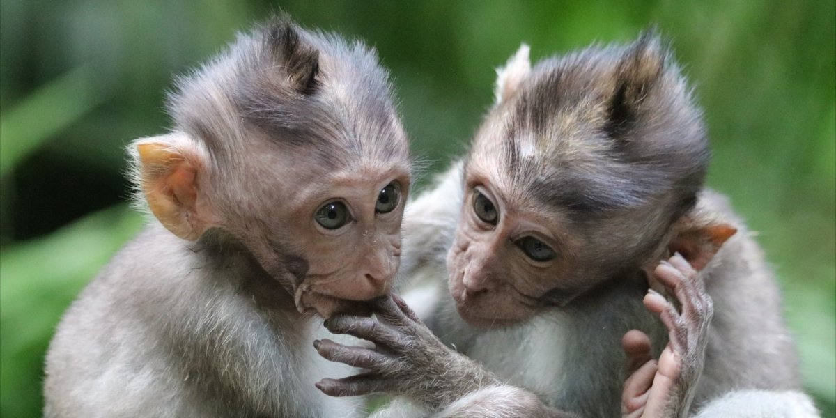 The Macaques of Monkey Forest in Ubud