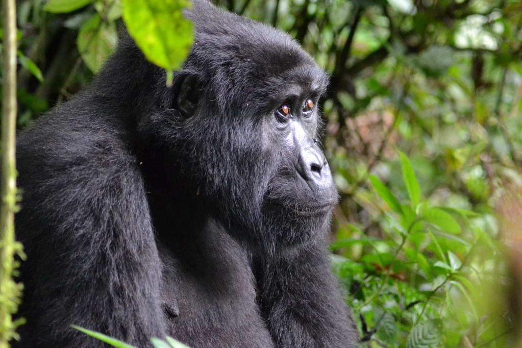 uganda - gorilla-