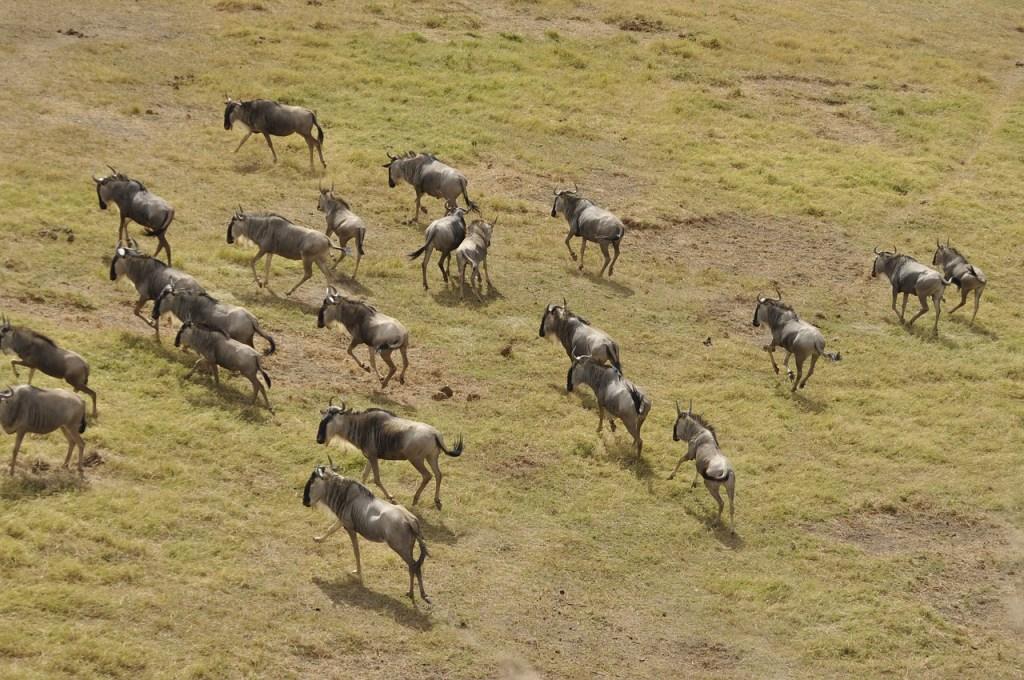 safari - wildebeest-migration-3995945_1280
