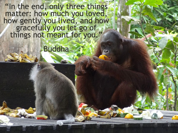 Sepilok Monkeys inspirational buddha quote