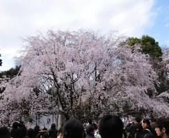 六義園 桜2015