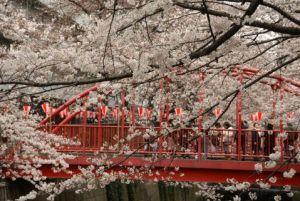 目黒川 桜