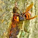 スズメバチに刺された時の対処法や症状は?特に二回目は注意が必要!