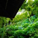 鎌倉であじさいの名所「長谷寺」へ。あじさいの見頃と見どころ、アクセス情報をご紹介。