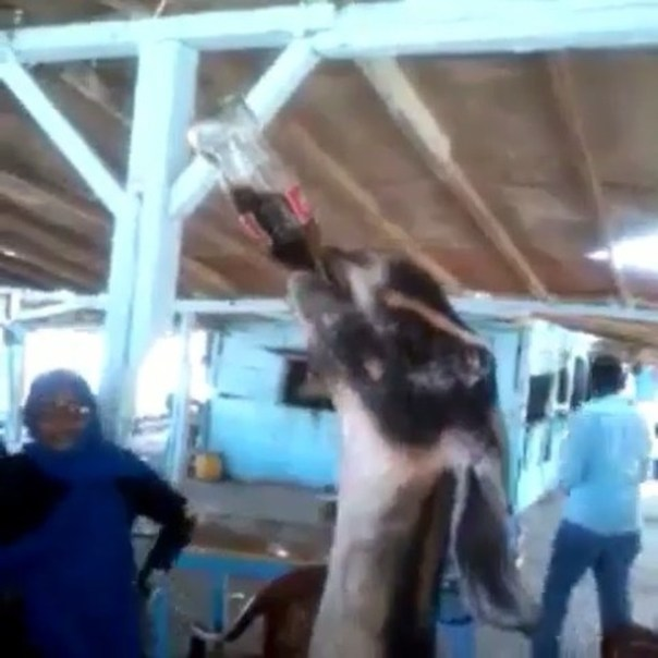 Viral Video Of A Goat Drinking A Bottle Of Carbonated Drink
