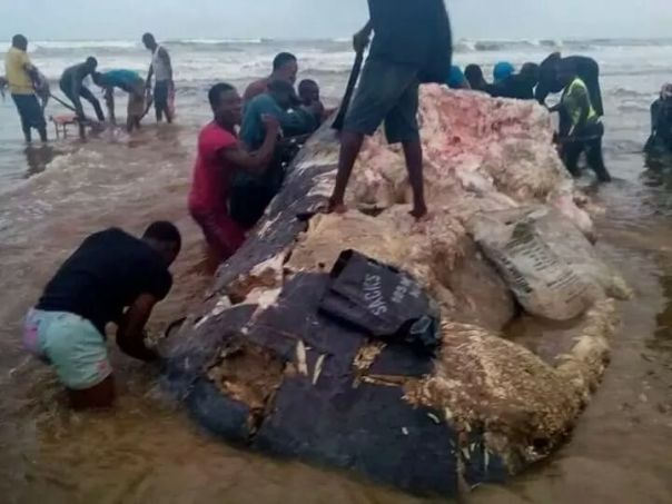 Residents Of Ikuru Town In Rivers State Cut Up Dead Whale For Their Consumption (1)