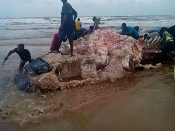 Residents Of Ikuru Town In Rivers State Cut Up Dead Whale For Their Consumption (2)