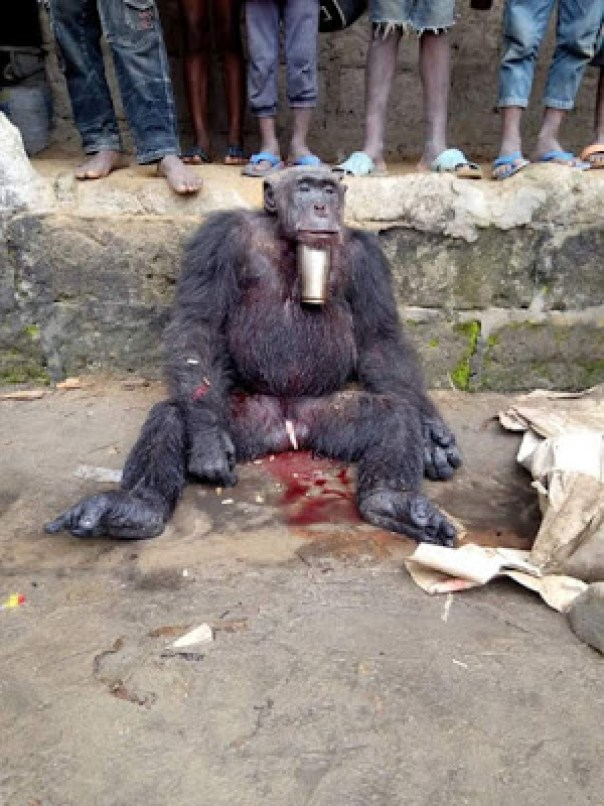 Hunter Killed And Butchered A Gorilla In Sapele (1)