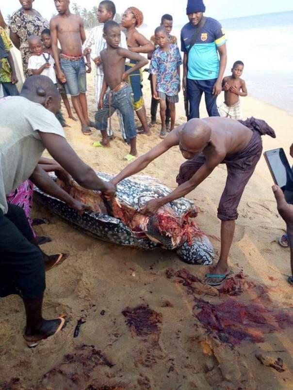 Giant Sea Turtle Nigerian Customs Barracks (4)