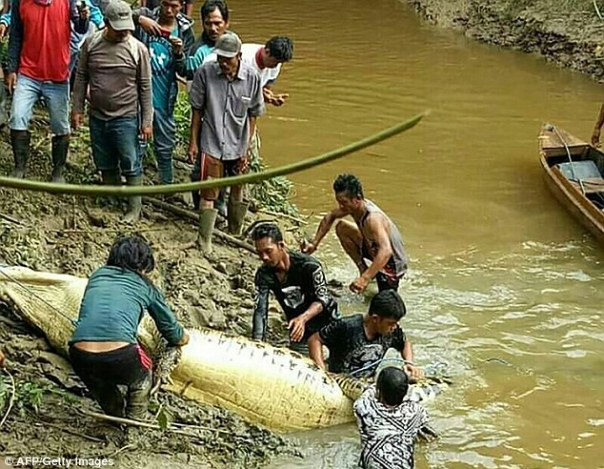 Human Arm And Leg Found Inside The Belly Of 20-Foot-Long Crocodile (3)