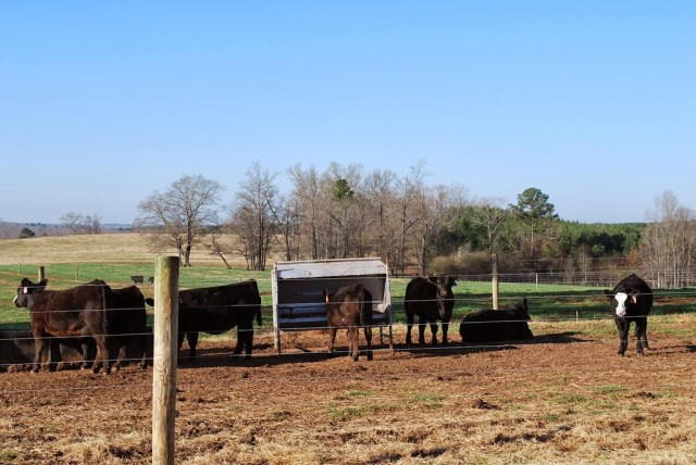 beef cattle ranch
