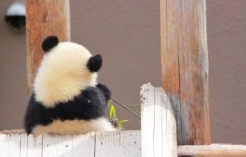 赤ちゃんパンダ