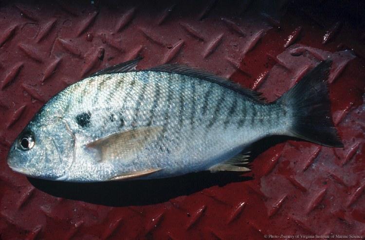 Amelia Island Fishing Reports 2