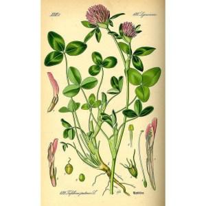 trefle rouge planche botanique pour herbier