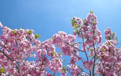 Des Cerisiers du Japon en Vallespir et à Amélie les Bains