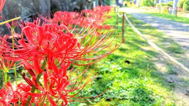 shuubun no hi, Amaryllis du Japon, higan bana