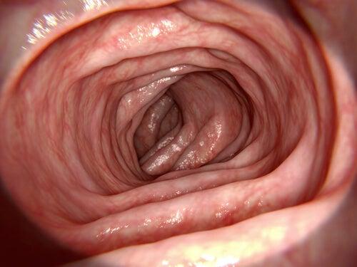dans le gros intestin