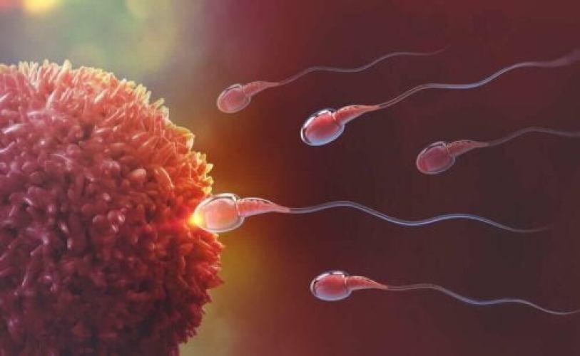 L'ovulation et la fécondation.