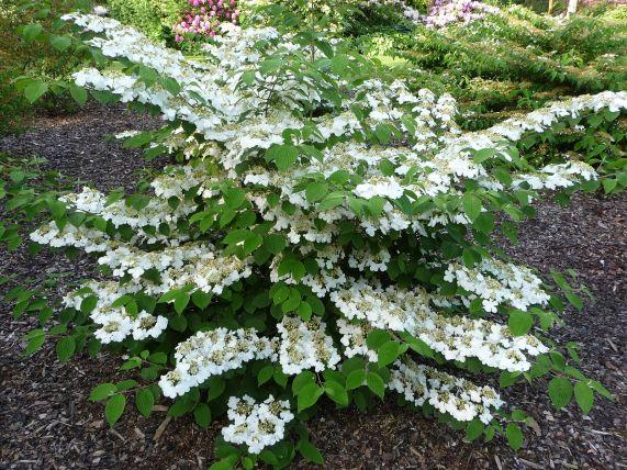 Viburnum plicatum, une plante d'ombre pour jardin zen