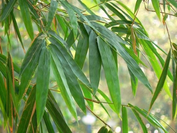 bambous fargesia feuillage
