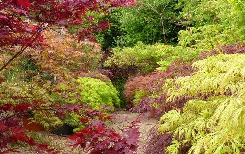 erable du japon plante d'ombre