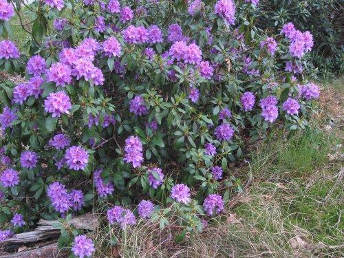 rhododendron ponticum plante d'ombre