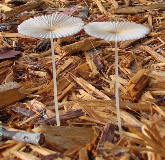 champignons qui poussent dans le paillage végétal