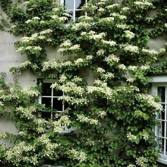 Hortensia grimpant une plante grimpante persistante pour l'ombre sur un mur