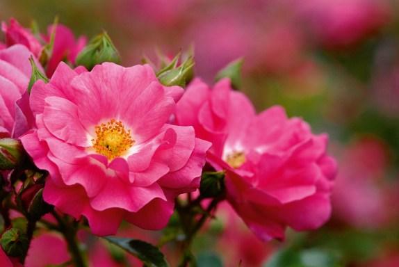Décorosier Emera, un rosier grimpant à fleurs roses