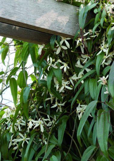 la clématite armandii, une plante grimpante persistante pour le soleil sur une pergola