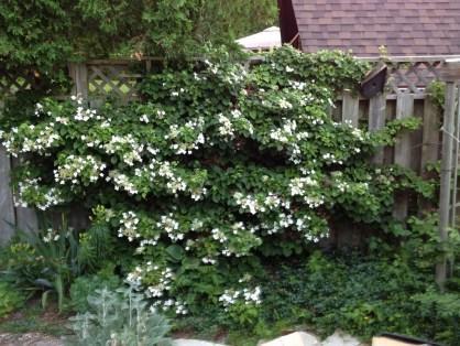 Hortensia grimpant persistant blanc