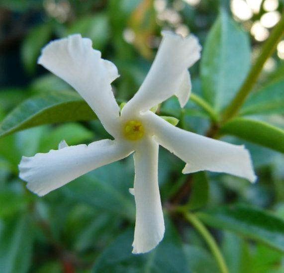 fleur parfumée du jasmin étoilé, une plante grimpante persistante