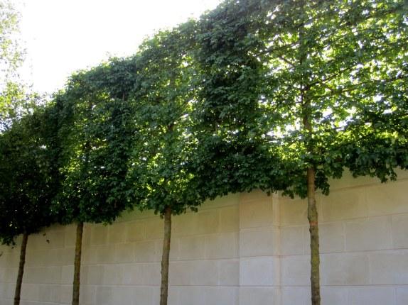 arbres palissés