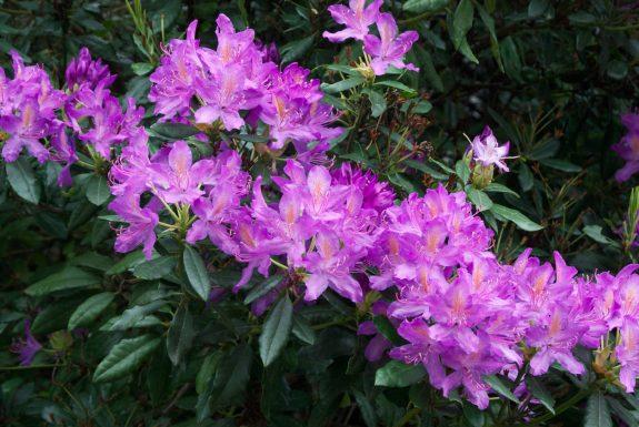 rhododendron ponticum, un arbuste fleuri sous un arbre