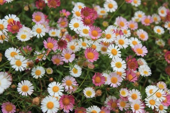 érigerons karvinskianus fleurs de cette belle vivace