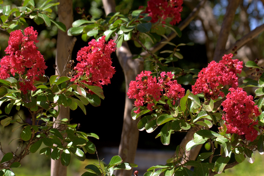 Lilas des indes lagerstroemia indica petit arbre fleuri pour petit jardin