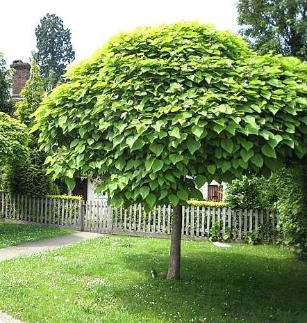 catalpa bignonioides nana petit arbre forme parasol