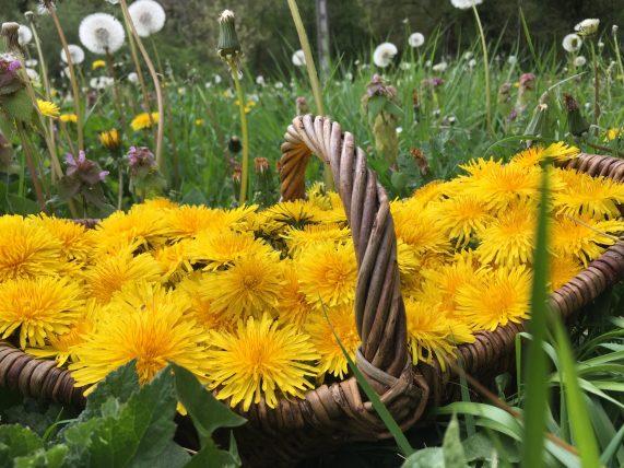 Pissenlits plantes sauvages comestibles dans le jardin